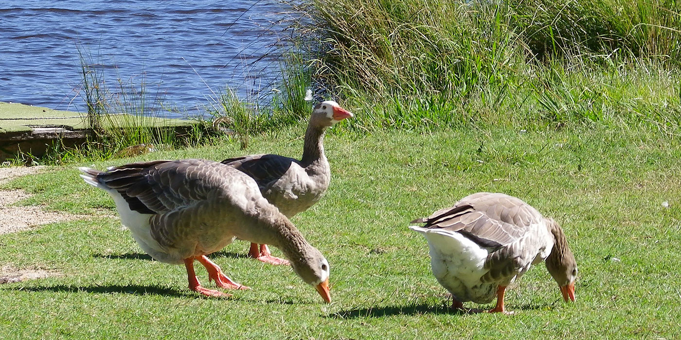 Geese at Molonglo Reach (Image J. Ramsay)